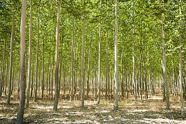 USA, Oregon, Boardman, Poplar trees