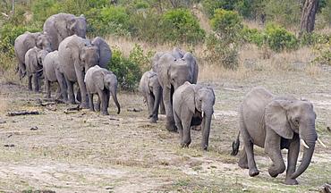 Elephants walking in a row