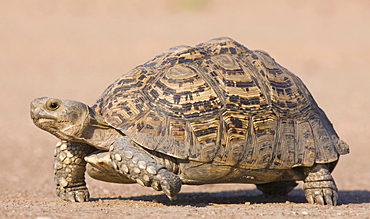 Tortoise walking in sand