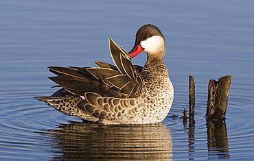 Duck preening feathers