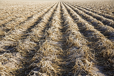Potato field awaiting harvesting, Colorado, USA