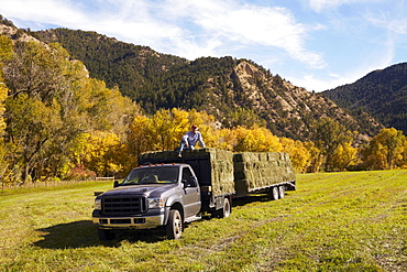 Rancher with bales of hay on his truck, USA, Western Colorado