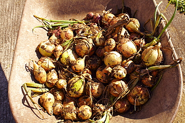Onions in bowl