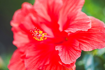 Close up of hibiscus