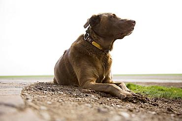 Chocolate Labrador looking away, Colorado, USA