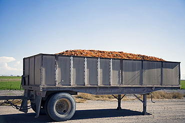 Trailer filled with carrots, Colorado, USA