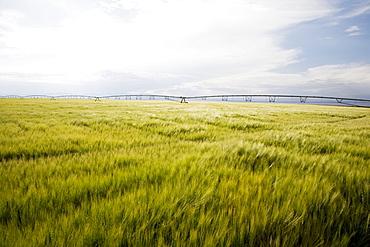 Barley field, Colorado, USA