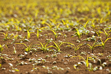 Close-up of sprouting corn, France, Rocroi