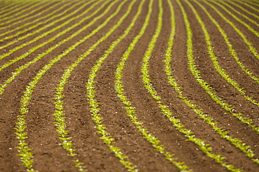 France, Rocroi, Field with sprouting corn, France, Rocroi
