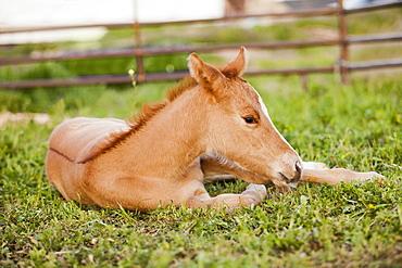 USA, Utah, Lehi, Foal lying on grass