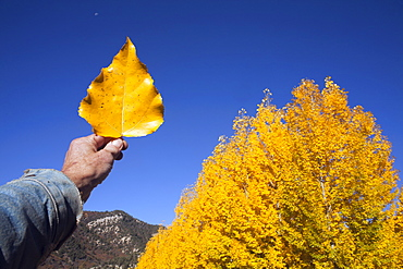 USA, Colorado, Hand holding yellow leaf against blue sky