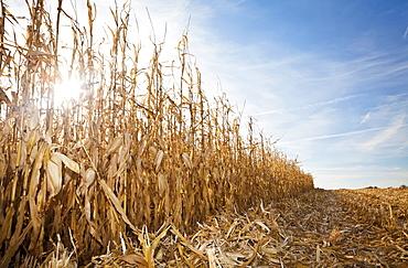 USA, Iowa, Latimer, Partly harvester corn field