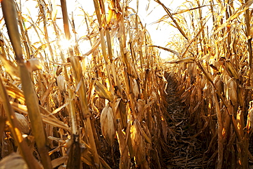 USA, Iowa, Latimer, Field of ripe corn