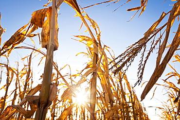 USA, Iowa, Latimer, Close-up of ripe corn