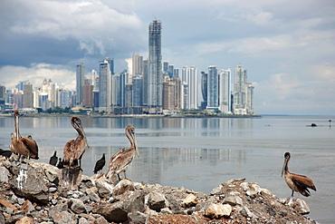 Panama, Panama City, Pelicans on coastline, skyline in background