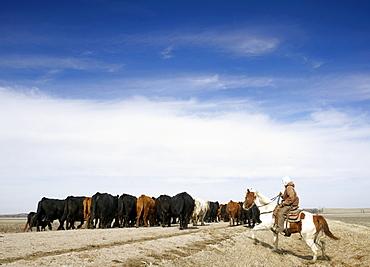 USA, Nebraska, Great Plains, horse rider driving cattle