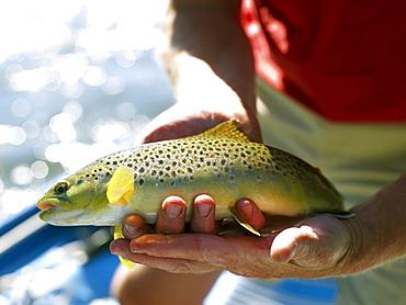 USA, Colorado, Man holding trout