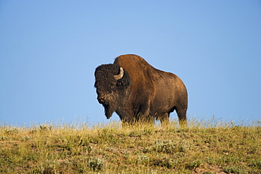 Silhouette of American Bison (Bison bison) on grassy field
