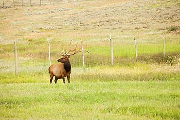 Bull Elk (Cervus canadensis) in field