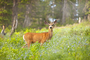 Mule Deer (Odocoileus hemionus) in meadow