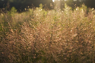 Tall grass at sunset