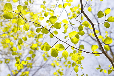 Green leaves on tree branches in spring