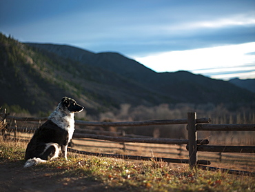 Guard dog sitting next to wooden fence, Western Colorado, USA