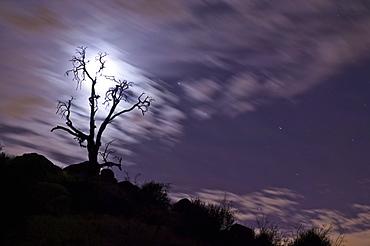 Full moon behind bare tree