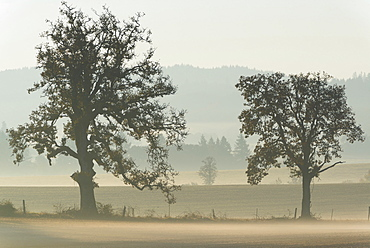 Oak trees on foggy day, Marion County, Oregon