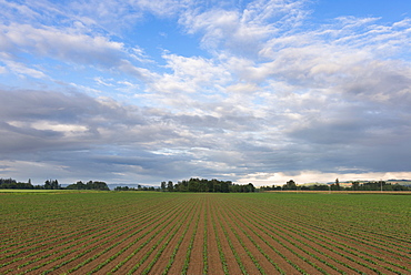 Bean field against cloudy sky, Marion County, Oregon