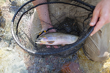 Fisherman holding fresh trout in net, North Fork Blackfoot River, Montana, USA