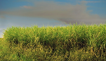 Sugar cane field, Florida