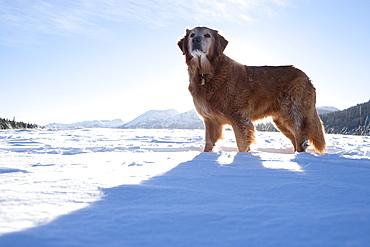 Golden Retriever standing in winter scenery