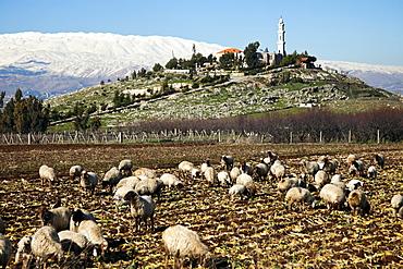 Flock of sheep in rural landscape