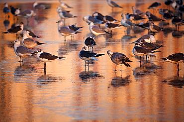 USA, Florida, Daytona Beach, Seabirds on beach