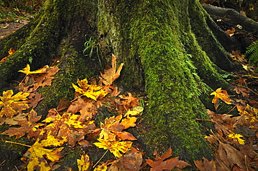 USA, Oregon, Silver Falls State Park, Tree trunk and leaves
