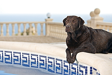 Chocolate Labrador by Pool