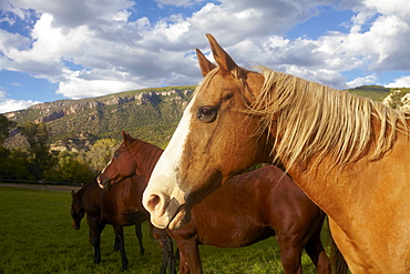 Horses grazing on grass, USA, Western USA, Colorado
