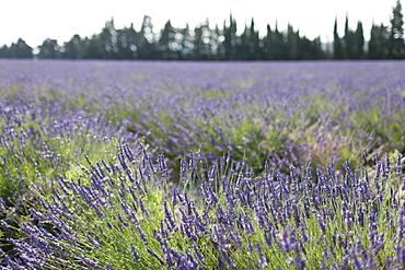 France, Drome, Grignan, Lavender in field