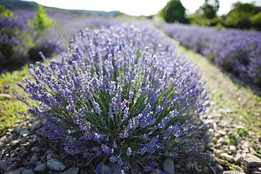 France, Drome, Piegros-la-Clastre, Close-up of lavender in field