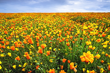 USA, Oregon, Marion County, Field of yellow and orange flowers