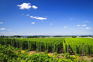 USA, Oregon, Marion County, Hop field