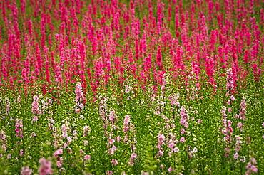 USA, Oregon, Larkspur flowers