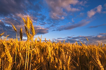 USA, Oregon, Marion County, Wheat field