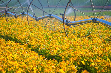USA, Oregon, Marion County, Wheel Line watering flowers