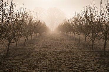 USA, Oregon, Marion County, Hazelnut orchard