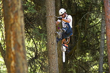 USA, Montana, Lakeside, lumberjack clambering tree