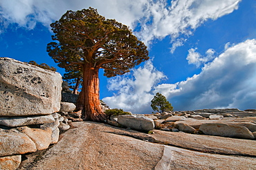 USA, California, Juniper tree on rocks