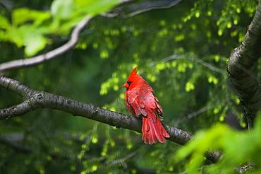USA, Ohio, Cardinal on branch