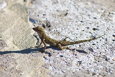 Lizard basking on rock